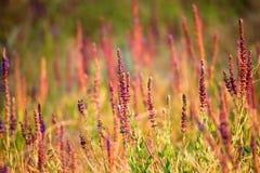 Свежие фиолетовые цветки шалфея или divinorum Salvia Стоковое фото RF