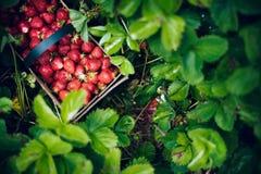 свежие фрукты выбирая лето клубник Стоковые Изображения RF