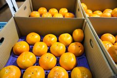 Свежие фрукты в коробке во время апельсинов сбора приправляют стоковое фото