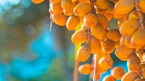 Свежие фрукты финиковой пальмы стоковые изображения