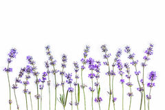 Свежие цветки лаванды на белой предпосылке Цветки лаванды глумятся вверх скопируйте космос Стоковое Изображение RF