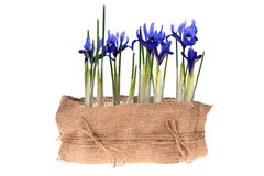 Свежие цветки весны изолированные на белизне Стоковая Фотография