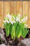Свежие цветки snowdrop на деревянной предпосылке Стоковые Фото