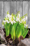 Свежие цветки snowdrop на деревянной предпосылке Стоковое Изображение RF