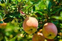 Свежие яблоки готовые для сбора стоковое изображение
