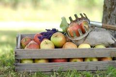 Свежие яблоки стоковое изображение rf
