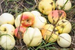 Свежие яблоки в траве Стоковое Фото