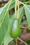 Свежие avacado и лист Стоковые Фото