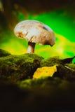 Свежие champignons леса гриба растут на мхе Стоковое Изображение RF