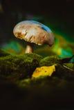 Свежие champignons леса гриба растут на мхе Стоковые Изображения RF