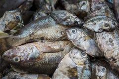 Свежие fishs Стоковые Изображения RF
