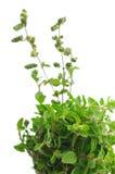 свежие sprigs травы душицы Стоковые Фото
