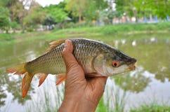 Свежие striped рыбы колючки в руке Стоковая Фотография RF