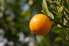 Свежий апельсин на заводе, оранжевом дереве. Стоковые Фотографии RF