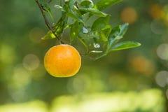 Свежий апельсин на заводе Стоковое фото RF