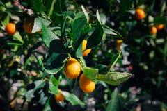 Свежий апельсин на оранжевом дереве Стоковые Фотографии RF