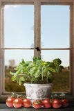 Свежий базилик с томатами перед старым сломанным окном Стоковая Фотография