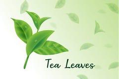 Свежий вектор реалистическое 3d листьев зеленого чая, чай выходит картина иллюстрация вектора