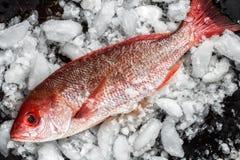Свежий весь красный люциан на льде Стоковое Изображение