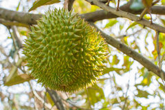 Свежий вид дуриана дальше Стоковые Изображения