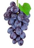 Свежий голубой висеть виноградин изолированный на белой предпосылке стоковые фотографии rf