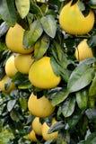 Свежий грейпфрут на деревьях Стоковые Изображения