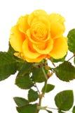 свежий желтый цвет роз Стоковая Фотография