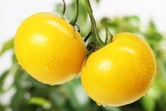 свежий желтый цвет томатов Стоковые Фото
