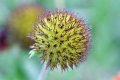 Свежий желтый шарик цветка, в саде очаровательном и красочном стоковое изображение rf