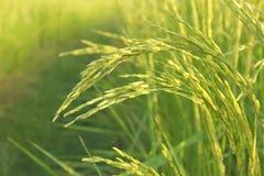 Свежий засоритель в полях риса Стоковые Фото