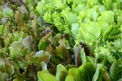 Свежий зеленый итальянский салат - предпосылка Стоковые Фотографии RF