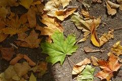 Свежий зеленый кленовый лист среди упаденных одних на том основании Стоковые Изображения