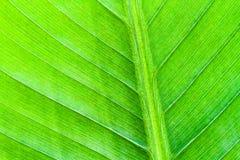 Свежий зеленый крупный план макроса лист банана Стоковое Изображение RF
