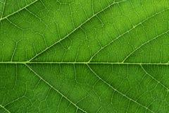 Свежий зеленый крупный план текстуры листьев Стоковые Изображения