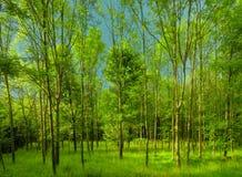 Свежий зеленый лес на дневном свете весны стоковые фотографии rf