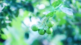 Свежий зеленый лимон в саде Стоковые Фото