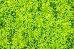Свежий зеленый папоротник выходит предпосылка involvens Selaginella (Sw ) Весна Папоротник involvens Selaginella также известный  Стоковая Фотография