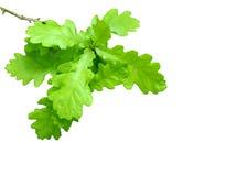 свежий зеленый цвет выходит дуб стоковые фотографии rf