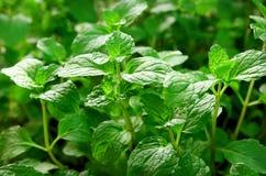свежий зеленый цвет выходит мята Картина природы для предпосылки Стоковые Изображения