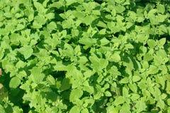 свежий зеленый цвет выходит пипермент Стоковые Изображения RF