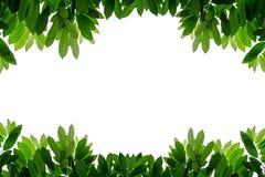 Свежий зеленый цвет выходит предпосылка изолированная рамкой белая Стоковое фото RF