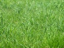 свежий зеленый цвет травы как раз Стоковые Фото
