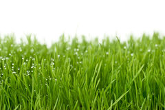 свежий зеленый цвет gras Стоковые Изображения RF