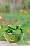 Свежий зеленый шпинат стоковая фотография