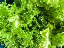 Свежий зеленый Lactuca sativa в саде природы Стоковые Изображения RF