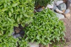Свежий зеленый базилик растущий живет в саде Стоковые Изображения RF