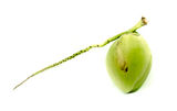 Свежий зеленый кокос Стоковые Фото