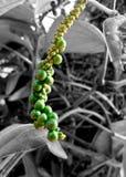 Свежий зеленый перец в черно-белой предпосылке стоковое изображение