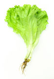 Свежий зеленый салат, зеленый салат лист Стоковое Изображение