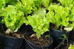 Свежий зеленый салат салата Стоковое Изображение